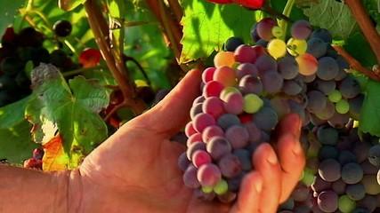 Mani che tagliano grappolo uva - Dettaglio