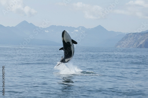 Fotobehang Dolfijn killer whale calf making high jump out of the water
