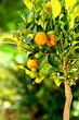 Orangenbaum