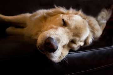 Sleepy Golden
