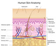 Human skin anatomy, detail and accurate, eps8, labelled