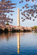 Washington Monument surrounded by cherry blossom