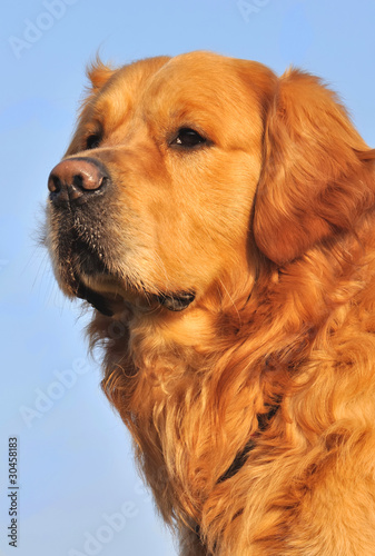 portrait d'un golden retriever