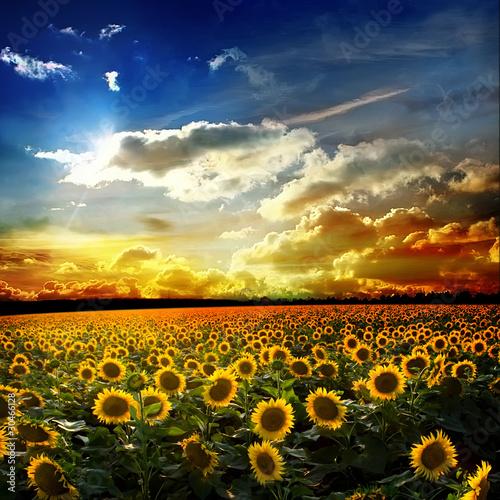 Fototapeten,sunlight,ackerbau,sonnenblume,sonne