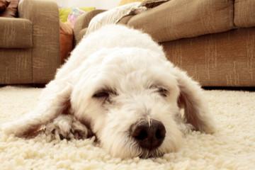 cachorro no tapete