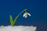 Snowdrop pushing snow