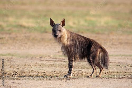 Tuinposter Hyena Brown hyena