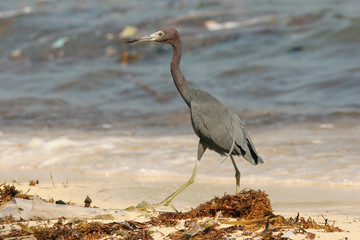 Little Blue Heron (Egretta caerulea) on Beach in Roatan