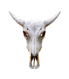 Isolated bull skull