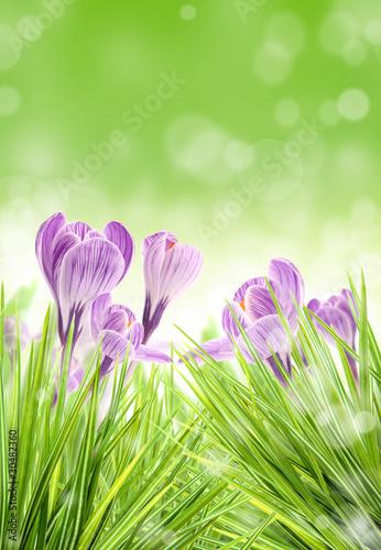 purpurowy-krokus-kwitnie-w-lace
