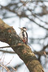 syrian woodpecker resting on the branch / Dendrocopos syriacus