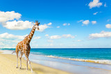 The giraffe runs on sand at seacoast