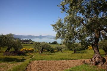Umbria, il lago Trasimeno, ulivi e dolci colline