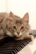 chat tapi sur les touches du piano- chat musicien