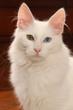 portrait du chat angora turc