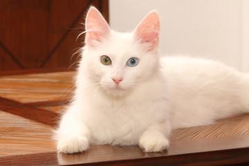 pureté du chat angora turc aux yeux de couleurs différentes