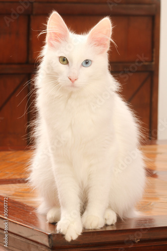 pose élégante du chat angora turc