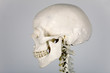 Skelett Schädel Profil