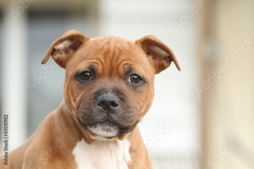nice head oft the young staffordshire bull terrier