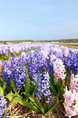 Purple and pink Hyacinths