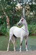 white akhal-teke horse stallion portrait in summer