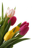 pink and yellow tulips isolated on white background