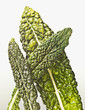 Close up of green vegetable leaves
