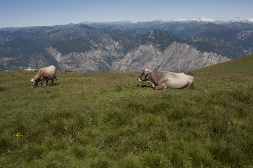 Italian mountains, Dolomiti ,cows grazing