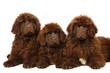 newfoundland dog puppies in studio