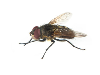 Housefly with red eyes