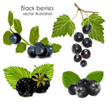 Vector illustration. Set of black berries with leaves.