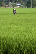 Asia Paddy Field