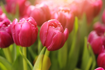 Red tulip flowers background