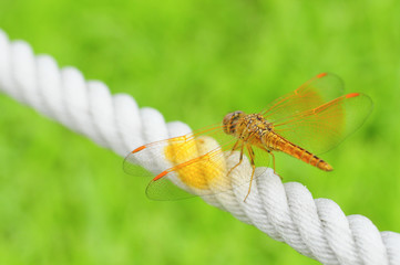 orange wing of dragonfly