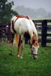 Paint horse grazing in paddock (Lexington, Kentucky).