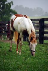 Paint horse grazing in paddock (Lexington, Kentucky).