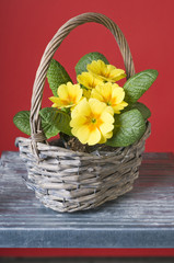 Primrose in a basket