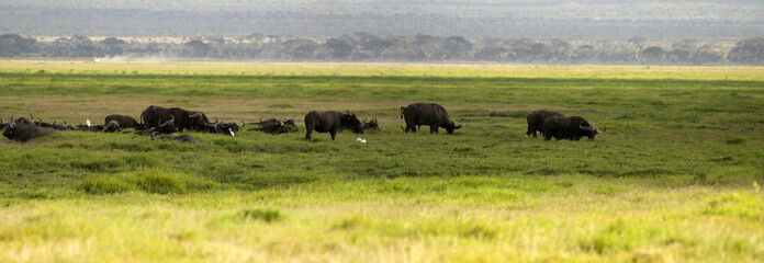 Buffalo, Amboseli National Park