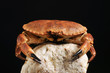 European crab, Cancer pagurus