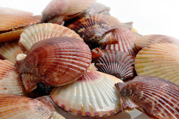Scallops, Shells of Pilgrims