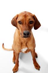 Haustier Hund - Rhodesian Ridgeback