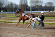 Harness Racing.Trotting horse.