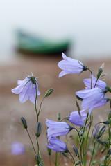 Северные цветы на берегу реки Варзуга.