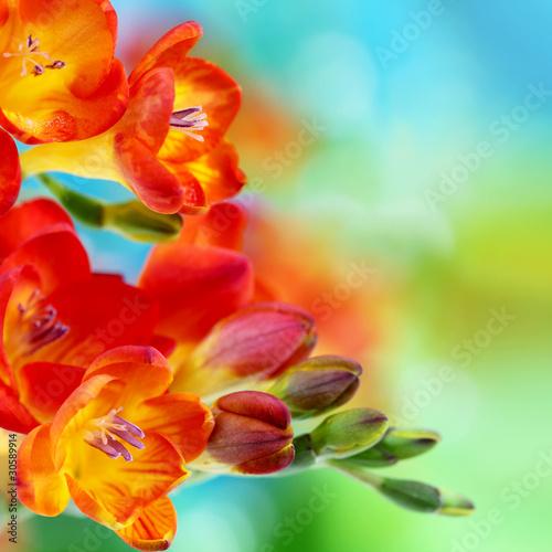 Spring freesia flowers on bokeh background