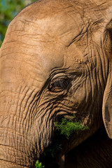 Close up of a young Elephant feeding