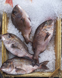four red porgies fish in a tray, natural background