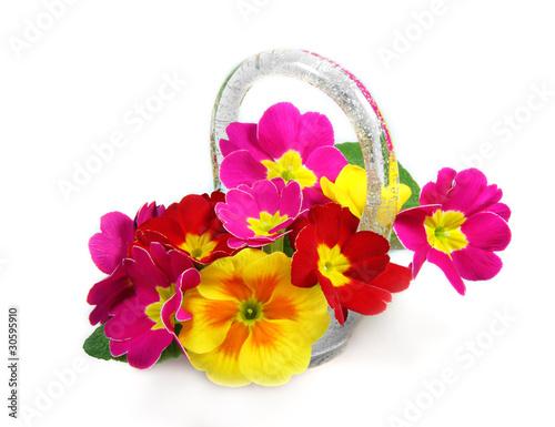 Primule di angiolina foto stock royalty free 30595910 su for Primule immagini
