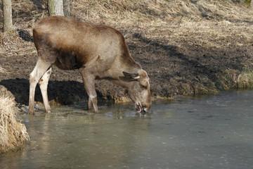 Elch trinkt aus einem zugefrorenen Gewässer
