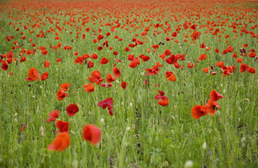 Red poppies blooming in field