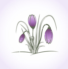 Beautiful purple crocus flower under snow